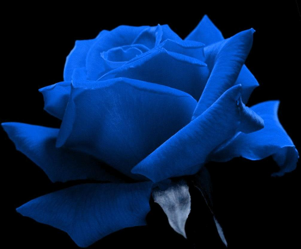 Blue rose gloom lonely