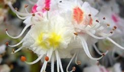 white-chestnut