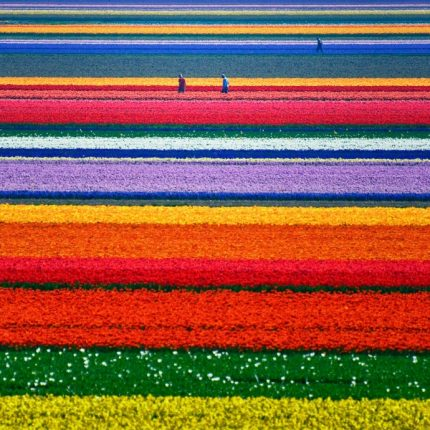 Campi Di Tulipani In Fiore Paesi Bassi