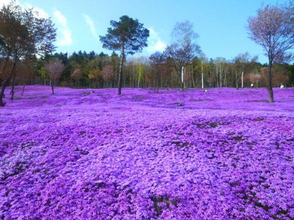 Grassy Campo Fioritura Sakura Giappone