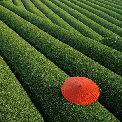 Piantagioni Di Tè Cina