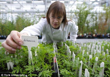 Artemisia annua trattamento per il cancro