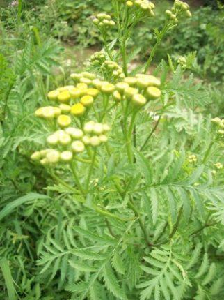 Artemisia annua proprieta e utilizzo dell assenzio