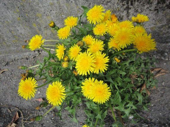 Tarassaco usi medicinali della pianta magica